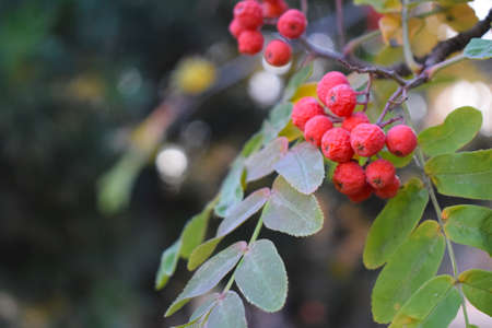 rowan branch with a bunch of bright red berries closeup