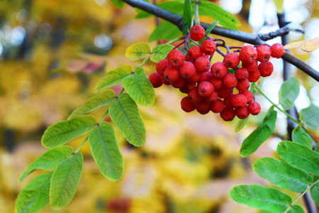 rowan branch with a bunch of bright red berries on a yellow autumn background Stock Photo