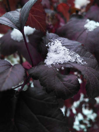 bush burgundy leaves covered with white snow.