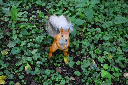 red-orange squirrel stands on two hind legs in the middle of the park and looks at the camera 写真素材