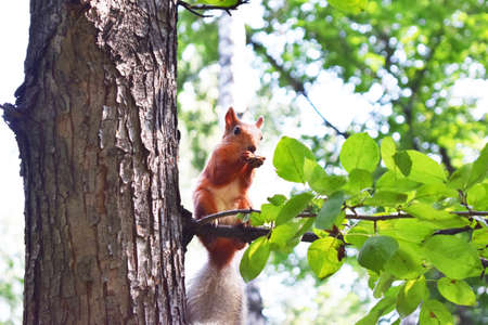 Red squirrel sits on a tree branch and gnaws nuts 写真素材