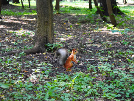 red orange squirrel stands on two hind legs in the middle of the park
