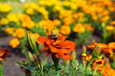 Bumblebee sits on a bright orange flower. Close-up. Macro photo Stok Fotoğraf - 132614994