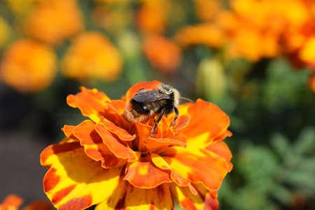 Bumblebee sits on a bright orange flower. Close-up. Macro photo Stok Fotoğraf