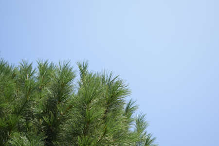 coniferous branches on a background of blue sky. young pine Stock fotó