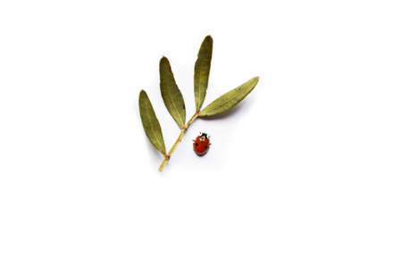 red ladybug and twig with green leaves on a white background. Minimalism. Isolated. Close-up