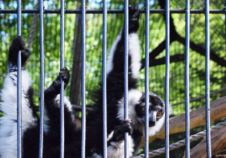 Portrait of a black and white lemur in an open air zoo