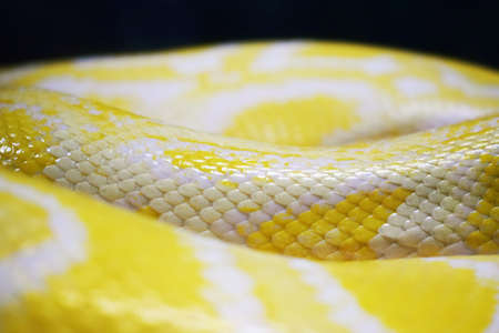 The skin of a lively yellow snake with white stripes. Golden Mesh Python
