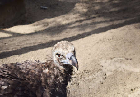 Closeup portrait of a wild brown vulture with rich plumage on his neck and fluff on his head on a sand background Stock Photo