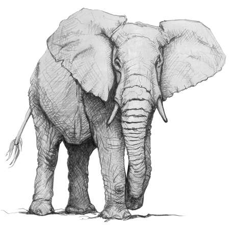Hand drawn pencil illustration of elephant. Isolated sketch on white background