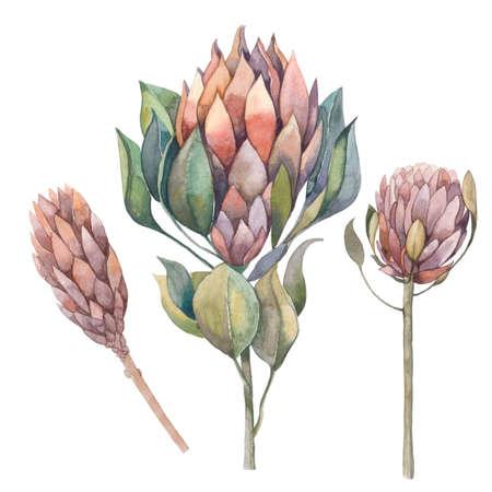 Watercolor dried protea in Boho style Zdjęcie Seryjne