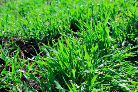 juicy, green, bright, tasty grass in the meadow, not trimmed lawn in Sunny spring weather Stockfoto