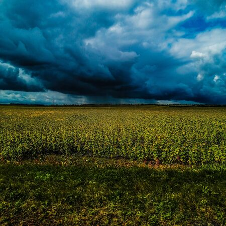 Sunflower field in rural area, under storm clouds, in summer. Фото со стока