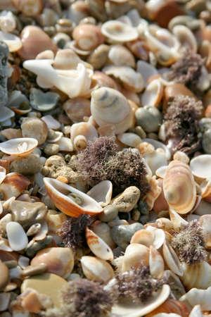 land shell: Many shells on background.