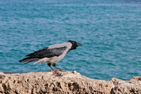 A crow sits on a cliff overlooking the sea photo
