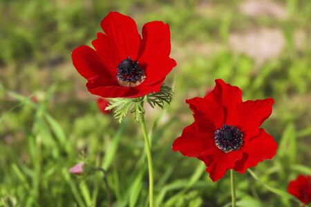two poppies on green field photo