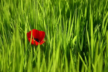 The one red poppy between green grass. Stock Photo - 12854706