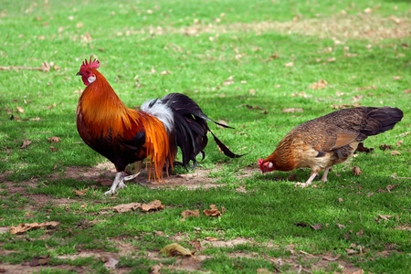 domestic scene: Cock with hen walk on the green meadow.