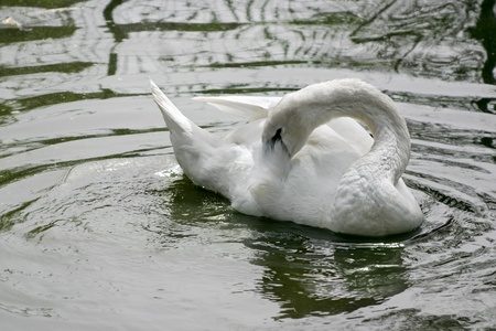 White swan floating on the lake. Stock Photo - 12854613