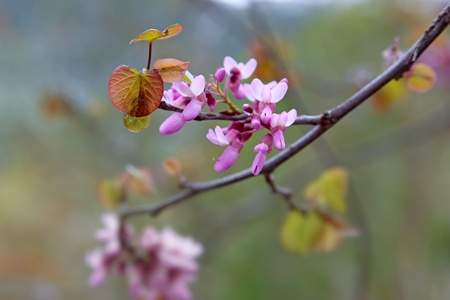 branch of a flowering tree with pink flowers (copy space) photo