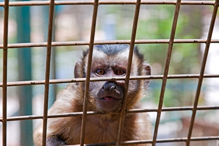 prison fence: A monkey sits in a zoo behind bars.