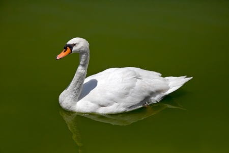 White swan floating on the lake.  photo