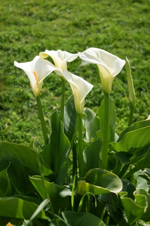 Calla Lily blossom against the background of green grass Stock Photo
