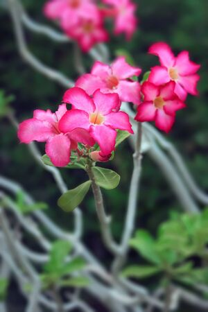 impala lily: pink impala lily flowers Stock Photo