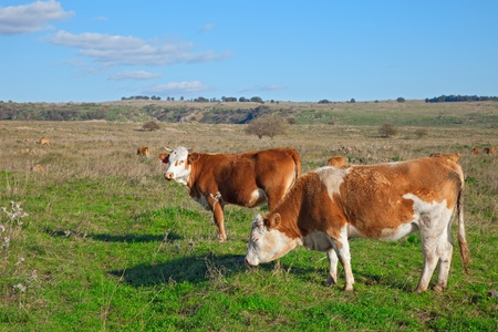 Two cows on the meadow Stock Photo - 13127970