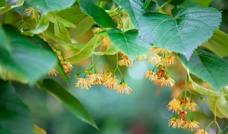 limetree: Lime-tree blossoms  Tilia species are large deciduous trees, reaching typically 20 to 40 metres tall, with oblique-cordate leaves 6 to 20 centimetres across  Teil is an old name for the lime tree  The tree produces fragrant and nectar-producing flowers, t Stock Photo