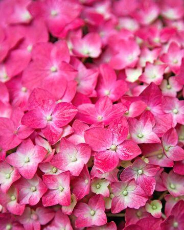 flowerhead: Pink Hydrangea flower  Hydrangea