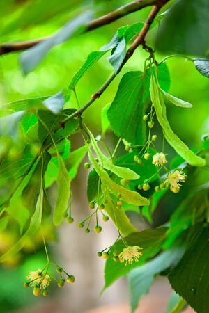limetree: Lime-tree blossoms