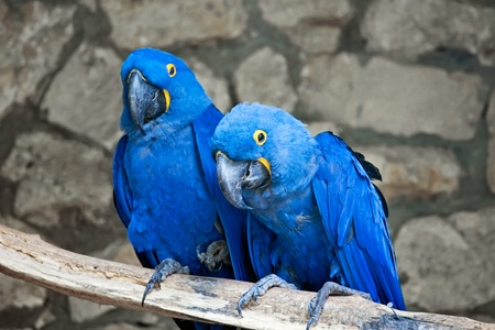 Couple of beautiful Blue and yellow macaws  photo