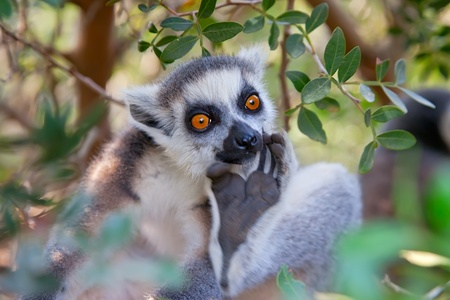 catta: Ring-tailed lemur  Lemur catta