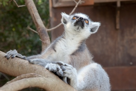 Ring-tailed lemur  Lemur catta  photo
