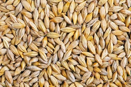 cebada: Grano de cebada Cebada Hordeum es un cereal importante, un miembro de la familia de las gramíneas Foto de archivo