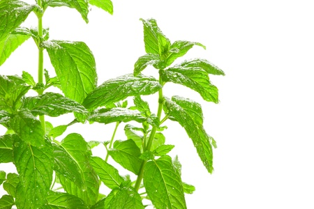 Fresh green Mint  Mentha  with water droplets isolated on white background  Used in culinary as a flavouring  Also much used in medicine, are very popular in aromatherapy and cosmetic  photo