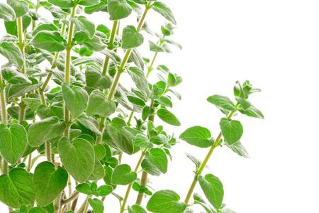 Fresh green Za