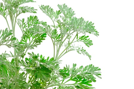 Fresh green Artemisia absinthium  absinthium, absinthe wormwood, wormwood, silver mound, common wormwood, green ginger or grand wormwood  is a species of wormwood isolated on white background