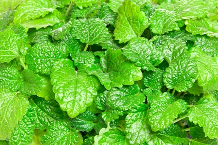 Fresh green Melissa  Lemon balm  background  Used in culinary as a flavouring, is also used medicinally as an herbal tea, or in extract form  Lemon balm is very popular in aromatherapy
