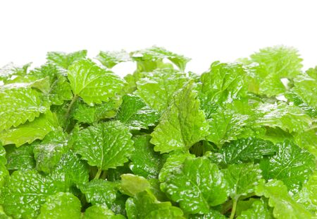 Fresh green Melissa  Lemon balm  isolated on white background  Used in culinary as a flavouring, is also used medicinally as an herbal tea, or in extract form  Lemon balm is very popular in aromatherapy  photo