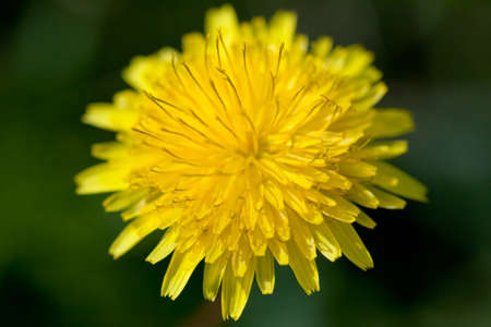 Yellow dandelion on blurred green background close up photo