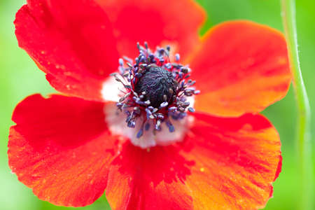 Red poppy on green background close up photo
