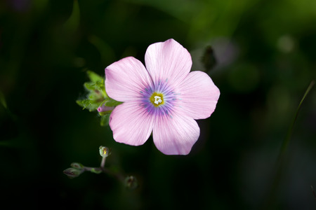 Oxalis debilis, the pink wood sorrel, is a perennial plant and herb in the Oxalidaceae family photo