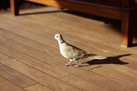 木製の床の上を歩く黒い鳩 写真素材