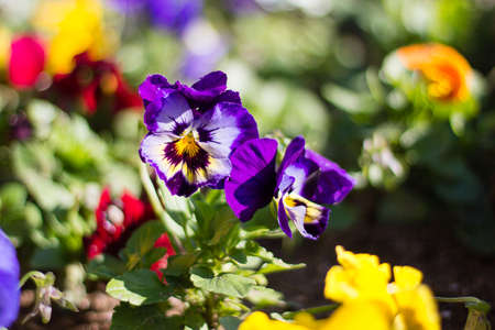 Close-up of a violet pansy on the blur pansy background Stock Photo