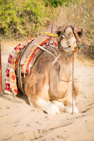 saddle camel: Camel in the touristic location lying on sand in the sunset light.  Stock Photo