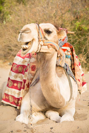 saddle camel: Camel in the touristic location lying on sand in the sunset light. Shallow DOF Stock Photo