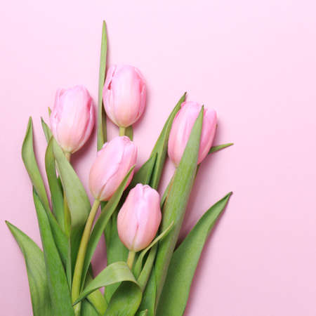 Pink tulips on the pink background. Flat lay, top view. Valentines background. Square 免版税图像
