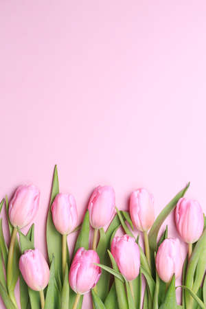 Pink tulips on the pink background. Flat lay, top view. Valentines background. Vertical